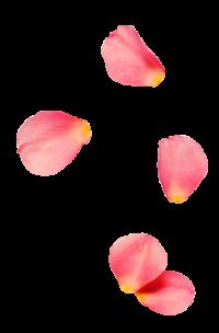 rose0petal2-200x304
